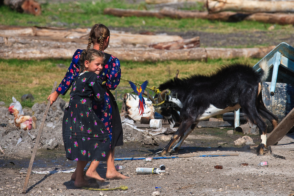 Two young girls try to harness a Billy Goat in the Mennonite community of Shipyard