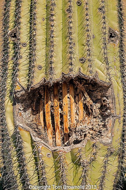 Saguaro cactus spines and skeleton smiling at you