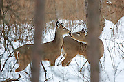 Adult Whitetail Doe Nuzzles Fawn in WInter Habitat
