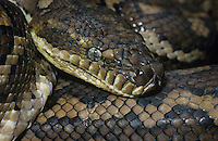 Carpet Python close-up