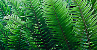 Backlit Western Sword Ferns  (Polystichum munitum) grow abundantly in a lush temperate forest, Kitsap Peninsula, Puget Sound, WA, USA