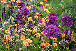 Geum 'Totally Tangerine' with Allium 'Purple Sensation' and Salvia nemorosa 'Caradonna'