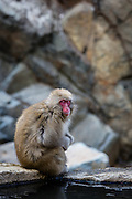 A japanese macaque (Macaca Fuscata) rests in a position vaguely resembling Rodin's famous statue