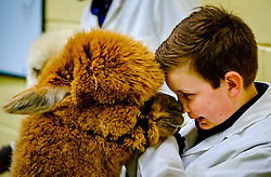 Lanark Scotland 15th April 2017:  The Second Scottish Alpaca Championship, organised by the Scottish Alpaca Group, took place on Saturday 15th April 2017 at Lanark Auction Market. The event had a record entry of 140 alpacas being shown and judged.<br /> <br /> An Alpaca in the show ring with it's young handler.<br /> <br /> (c) Andrew Wilson   Edinburgh Elite media