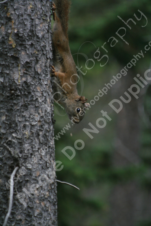 Adventurous Squirrel at Two-Jack Lake near Banff