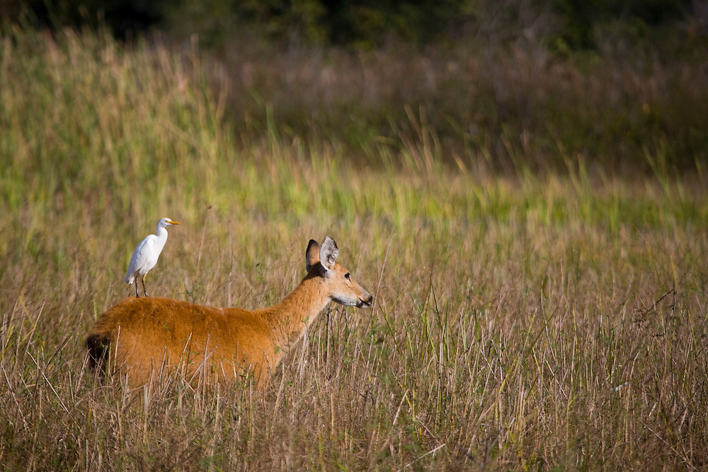Aquidauana_MS, Brasil...Passaro sob o Veado femea na fazenda Rio Negro no Pantanal...The bird on the female deer in the Rio Negro farm in Pantanal...Foto: JOAO MARCOS ROSA / NITRO