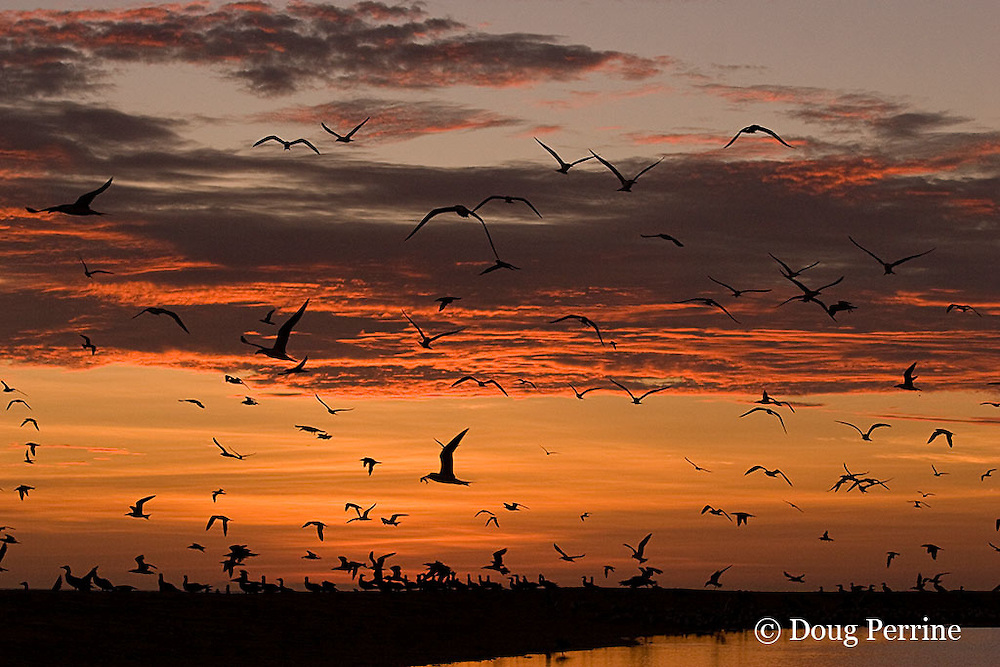 crested terns, Sterna bergii or Thalasseus bergii, and brown boobies, Sula leucogaster, coming in to roost at sunset, Turu Cay, Torres Straits, Queensland, Australia