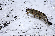 LADAKH, INDIA: Adult male snow leopard walks across snow covered rocks in Hemis National Park.