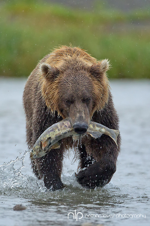 Coastal Brown Bear walking in river with chum salmon in mouth;  Katmai NP, Alaska in wild.