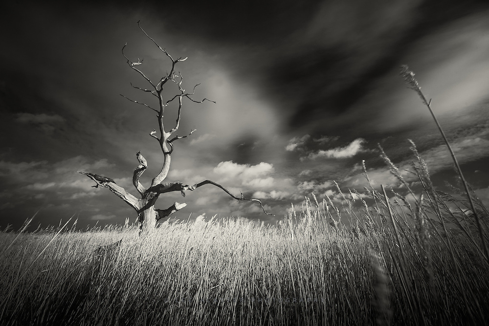 Iconic dead oak tree at Iken Fen in Suffolk