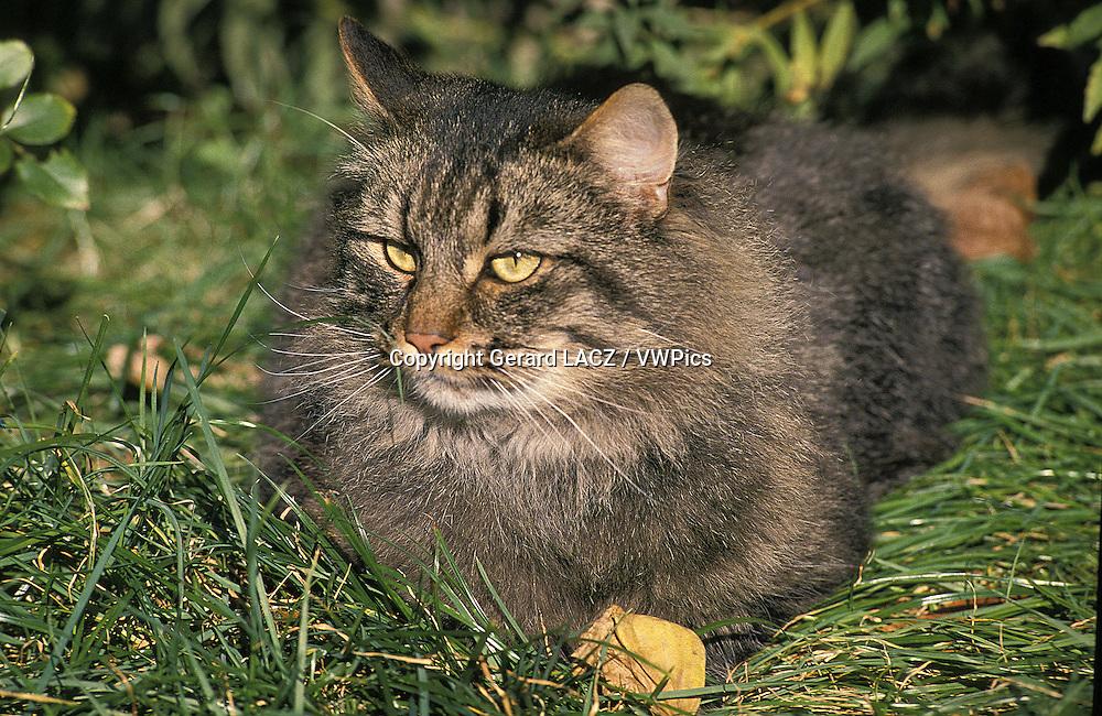 Skogkatt Domestic Cat, Adult laying on Grass