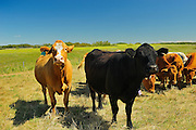 Cattle (herefords) and black angus in pasture<br /> Fairlight<br /> Saskatchewan<br /> Canada