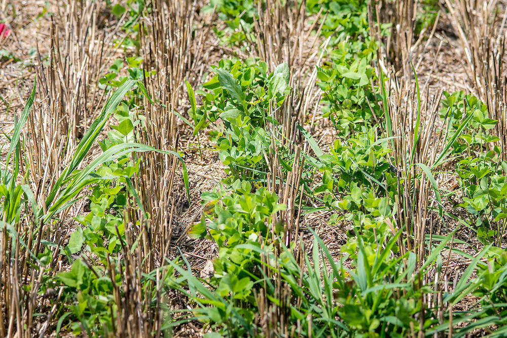 Cover crop clover growing through wheat stubble.