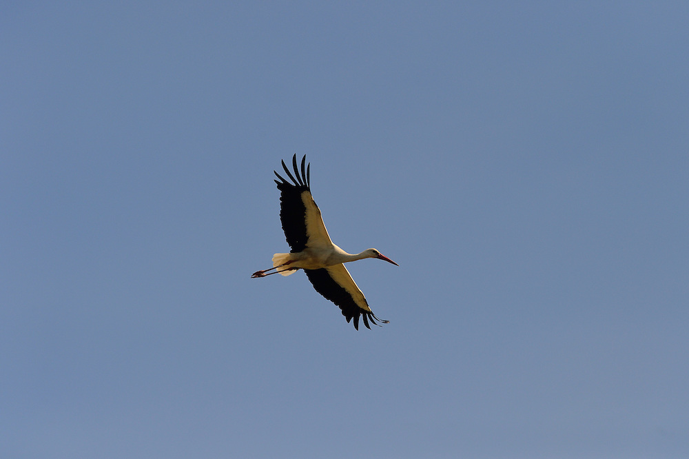 white stork (Ciconia ciconia), Anklam, Peene valley, Germany