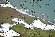 Little black auks wheel fly in a tight formation above Rubini Rock, a major nesting ground for Arctic sea birds in Franz Josef Land.