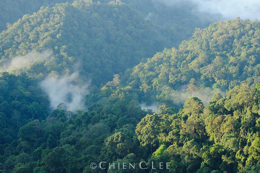 Virgin rainforest in western Borneo.