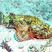 Spotted Scorpionfish most commonly inhabit reefs, but can be found in all bottom habitats in Tropical West Atlantic; picture taken Key Largo, FL.