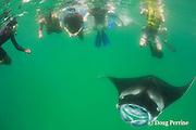 snorkelers and manta ray, Manta alfredi, Hanifaru Bay, Hanifaru Lagoon, Baa Atoll, Maldives ( Indian Ocean )