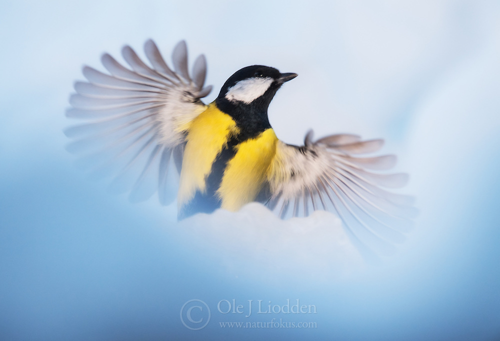 Great Tit (Parus major) in winter snow, Norway