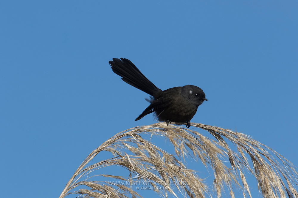 The fantail is one of New Zealand's most iconic birds. However, only ~5% are black morphs, and even less of these black fantails have a white spot over each ear.