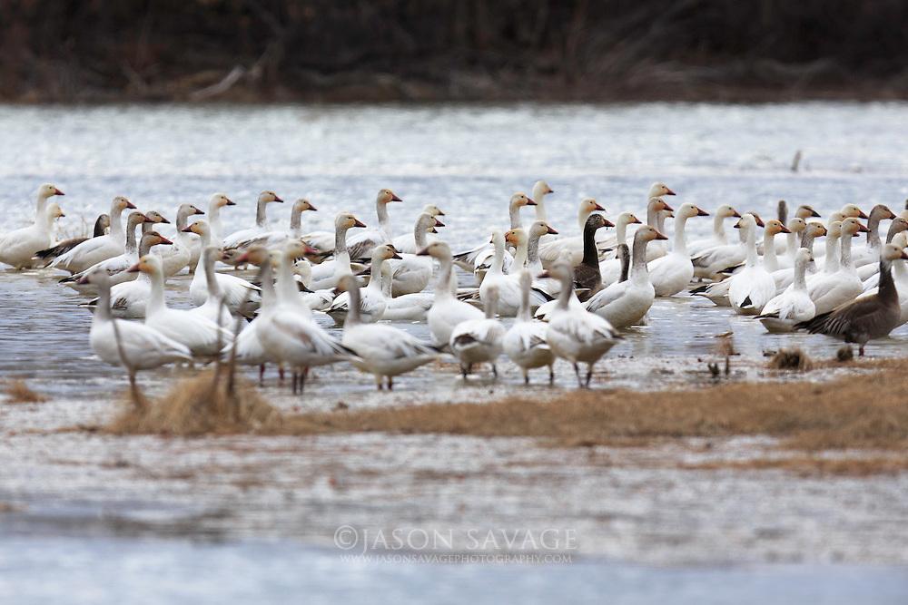 Snow Geese, Montana