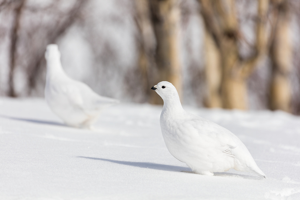 Willow Ptarmigans (Lagopus lagopus) foraging among willows in early spring in Arctic Valley in Southcentral Alaska. Afternoon.
