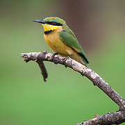 Little Bee-eater (Merops pusillus) . Punda Maria. Kruger National Park. South Africa. Organization for Tropical Studies Trip 2009.