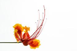 Pride of Barbados tree, caesalpinia pulcherrima #7