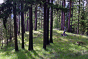 Western larch forest in early summer. Yaak Valley, Montana