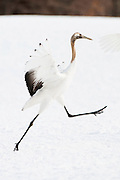 "JAPAN, Eastern Hokkaido.Juvenile red-crowned crane (Grus japonensis) ""dancing"" (IUCN 2010: Endangered)"