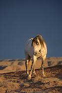 The buckskin stallion, San Jose, pauses atop a dusty ridge as a thunderstorm rolls into the prairie.