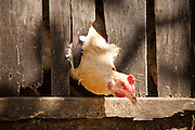 Apr. 22 - UBUD, BALI, INDONESIA:  A chicken pokes its head out of its coop in Ubud, Bali, Indonesia.   Photo by Jack Kurtz/ZUMA Press.