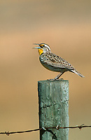 Western Meadowlark (Sturnella neglecta) on fence post, Langdon reservoir, Alberta, Canada