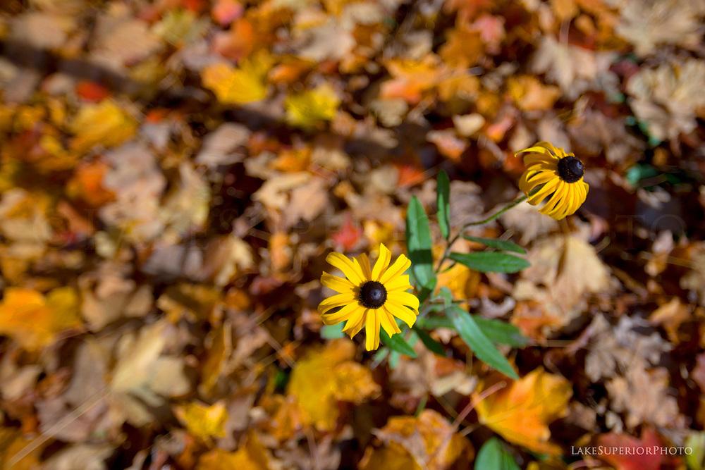 black eyed susan, autumn