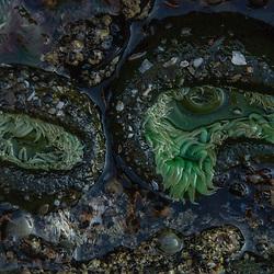 Sea Anemone at Kalaloch Beach 4, Olympic National Park, Washington, US