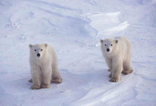 Polar Bear, (Ursus maritimus) Cubs. Churchill, Manitoba. Canada.