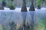 Early morning mist and tupelo gum trees (Nyssa aquatica), spring, Merchant's Millpond State Park, North Carolina