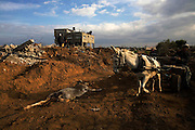 A man with a donkey cart passes by a dead donkey and homes that have been destroyed in the neighborhood of Zeitune in Gaza, January 19,2008 during the Operation Cast Lead . (Photo  by Heidi Levine/Sipa Press).