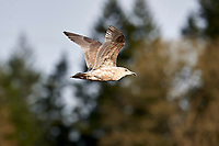 Glaucous-winged Gull (Larus glaucescens) in flight, first winter plumage, Brickyards Beach, Gabriola Island, British Columbia, Canada