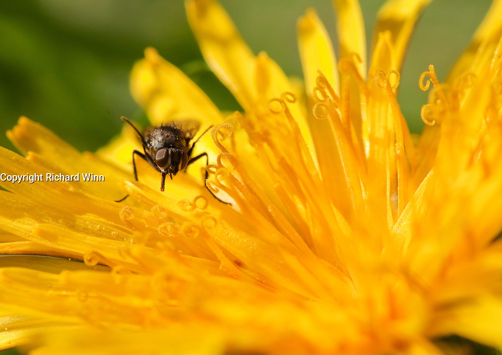 A small fly from the order Diptera while collecting nectar from a dandelion flower.