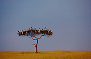 Marabou storks in acacia tree, Masai Mara National Reserve, Kenya