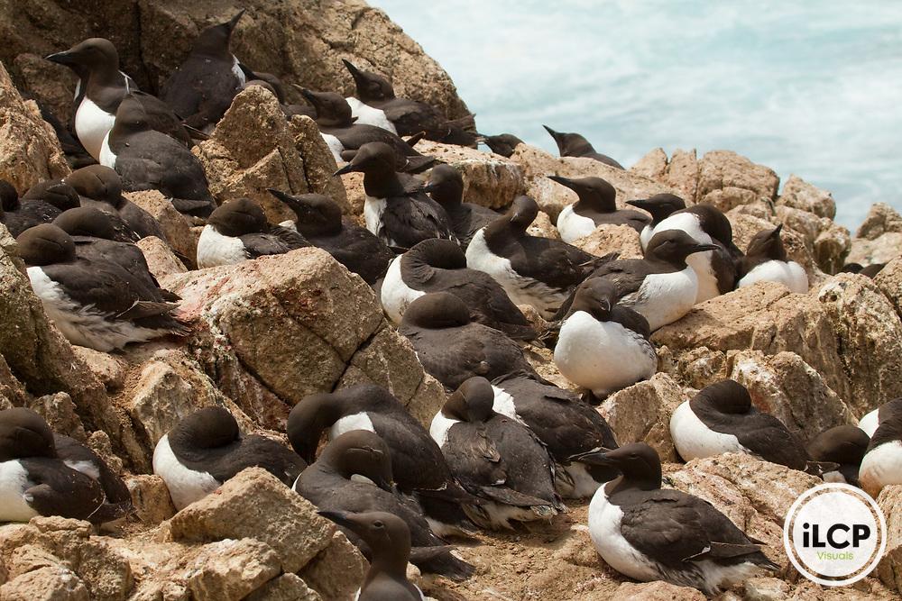 Common Murre (Uria aalge) breeding colony along coast, South Farallon Islands, Farallon Islands, Farallon National Wildlife Refuge, California