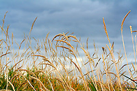 Tall Grass Prairie east of Calgary near Calgary, AB..©2007, Sean Phillips.http://www.Sean-Phillips.com