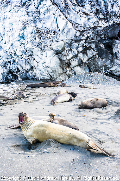 Southern Elephant seals (M. leonina), Royal Bay, South Georgia Island, South Atlantic Ocean