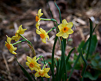 Small daffodils in my front yard. Spring in New Jersey. Image taken with a Fuji X-T1 camera and 100-400 mm OIS lens (ISO 200, 177 mm, f/5, 1/300 sec).