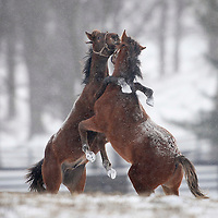 Yearling thoroughbreds frolic in newly fallen snow on Hopewell farm outside of Lexington, Ky., as snow continued to fall from a winter storm moving through the south on Saturday, January 30, 2010. Photo by David Stephenson