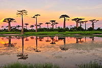Baobab Reflection at sunset (Adansonia grandidieri), near Morondava, Madagascar Image by Andres Morya