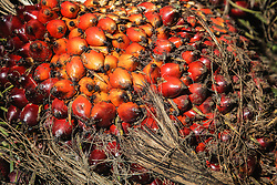 Harvested palm oil fruit grown to be exported to the west for use in processed food stuffs, cosmetics, household cleaning products and more. Palm oil plantations are cutting down and burning primary and secondary forests vital as habitat for wildlife including the critically endangered Sumatran and Borneo orangutans, Sumatra, Indonesia
