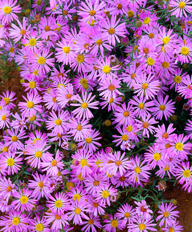 0405-1143 ~ Copyright:  George H. H. Huey ~ Asters [Aster bigelovii] Wetherill Mesa, Mesa Verde National Park, Colorado.