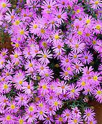 0405-1143 ~ Copyright:  George H. H. Huey ~ Asters [Aster bigelovii] Wetherill Mesa, Mesa Verde National Park, Colorado.